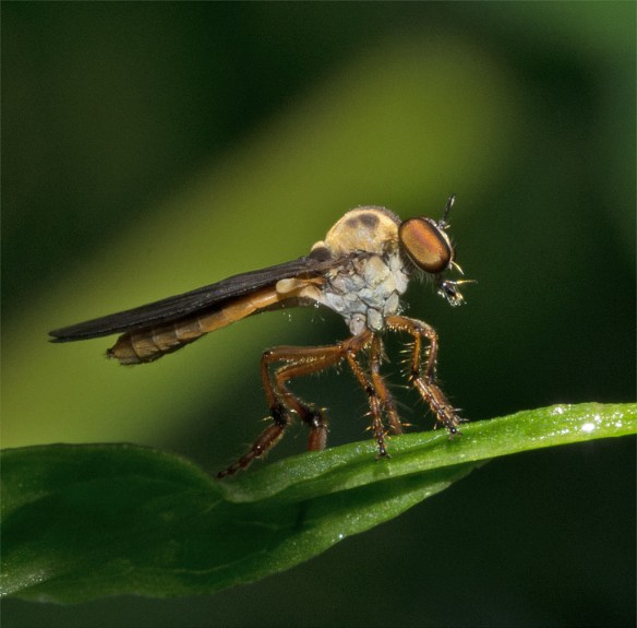Robber Fly 18