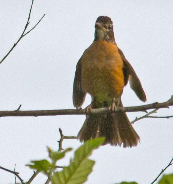 Robin 67