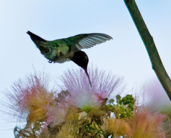 Ruby Throated Hummingbird 310