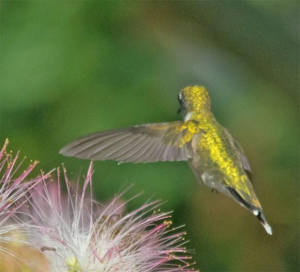 Ruby Throated Hummingbird 324