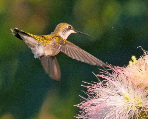 Ruby Throated Hummingbird 327