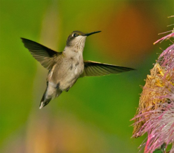 Ruby Throated Hummingbird 328