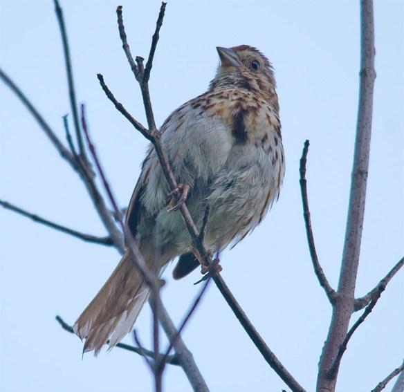 Song Sparrow 137