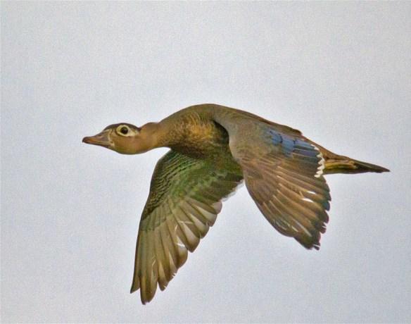 Wood Duck 264