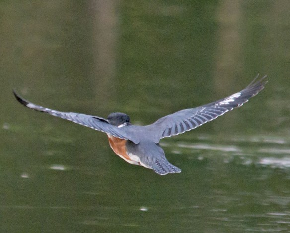 Belted Kingfisher 121