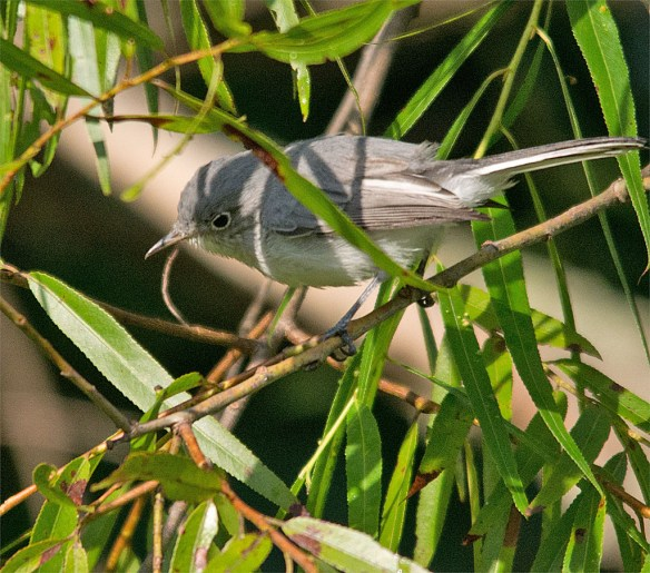 Blue Gray Gnatcatcher 224