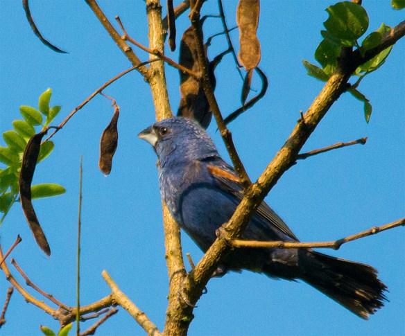 Blue Grosbeak 211