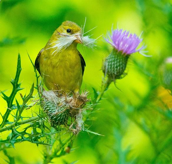 Goldfinch 224