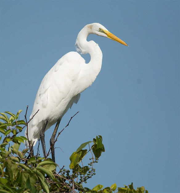 Great Egret 103