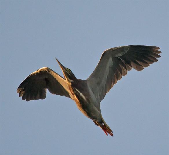 Green Heron 127