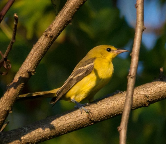 Orchard Oriole 111