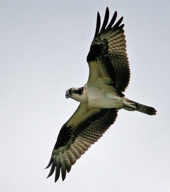 Osprey 369