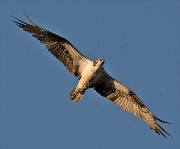 Osprey 371