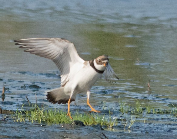 Semipalmated Plover 6