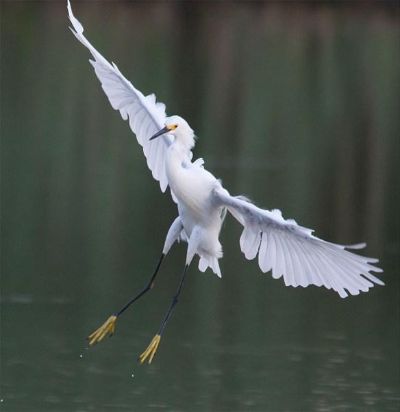 Snowy Egret 146