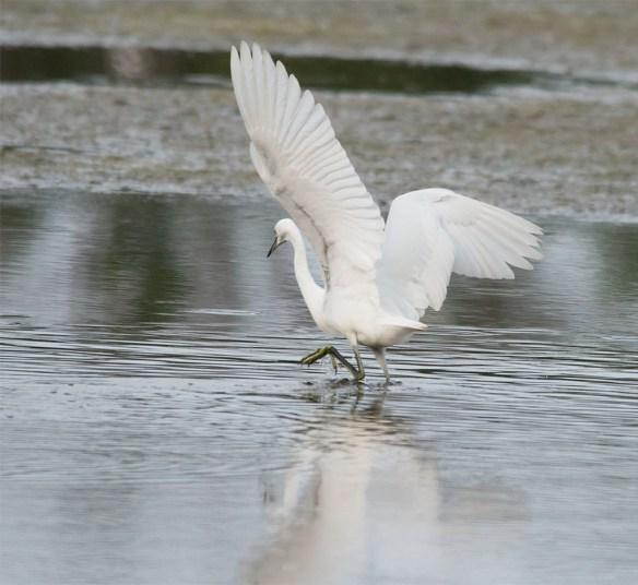 Snowy Egret 158
