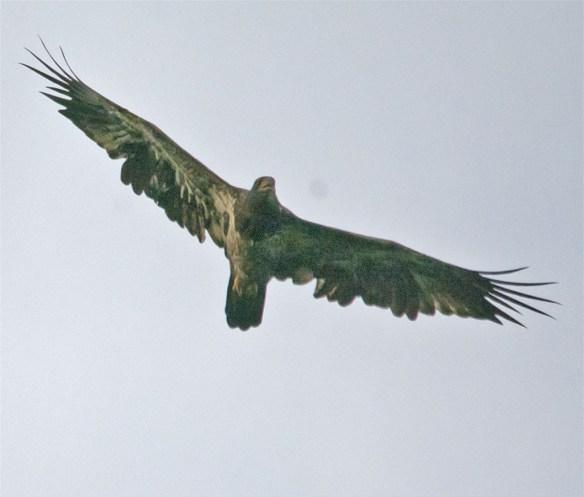 Bald Eagle 426