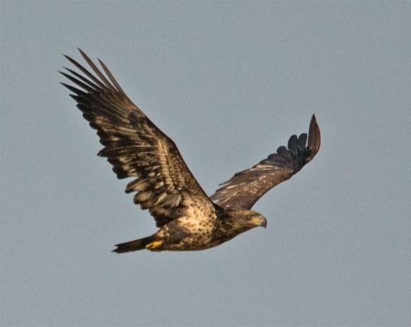 Bald Eagle 427