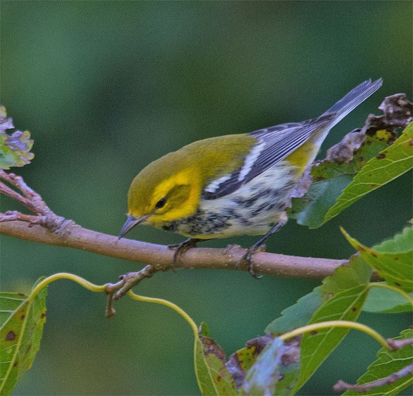 Black Throated Green Warbler 100