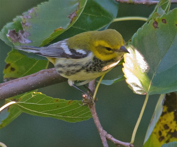 Black Throated Green Warbler 101