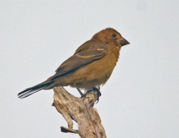 Blue Grosbeak 212