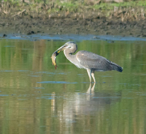 Great Blue Heron 344
