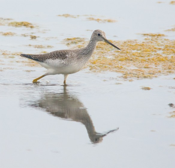 Greater Yellowlegs 104