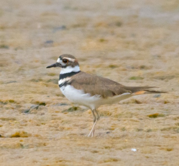 Killdeer 102