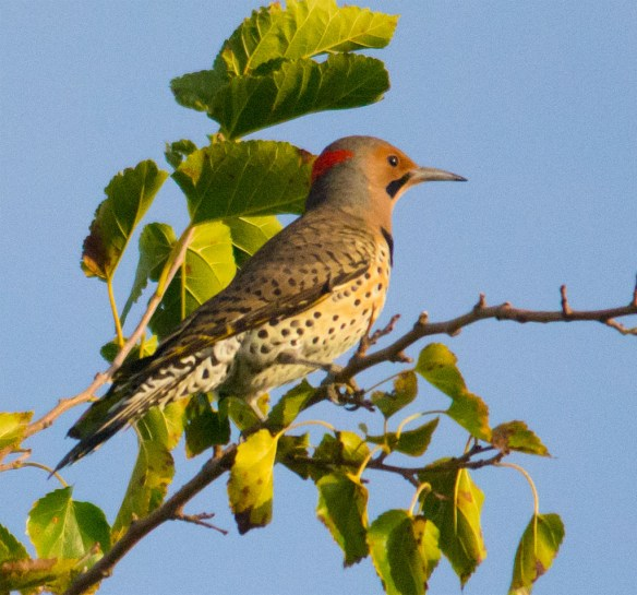 Northern Flicker 103