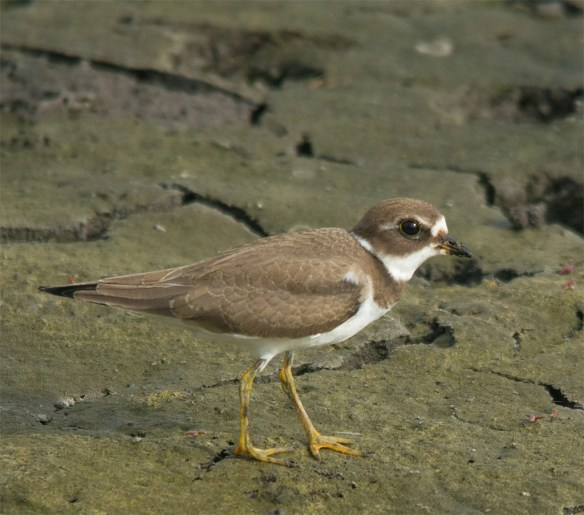 Semipalmated Plover 8
