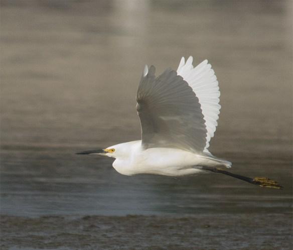 Snowy Egret 185