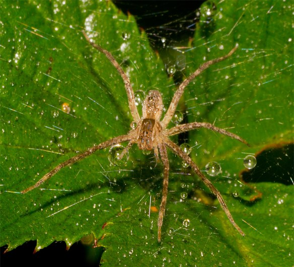 Spider 258