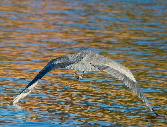 Great Blue Heron 346