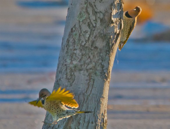 Northern Flicker 108