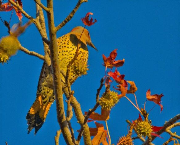 Northern Flicker 111