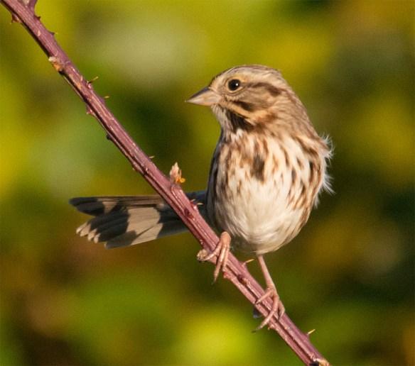 Song Sparrow 145