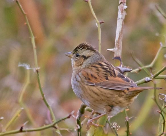 Swamp Sparrow 117