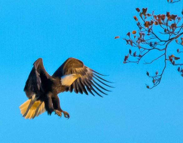 Bald Eagle 435
