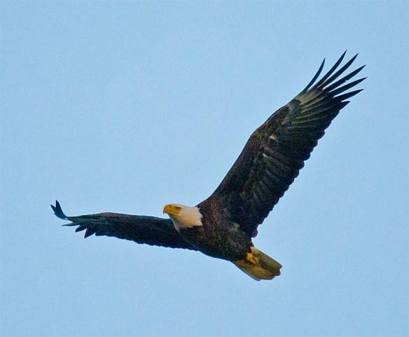 Bald Eagle 438