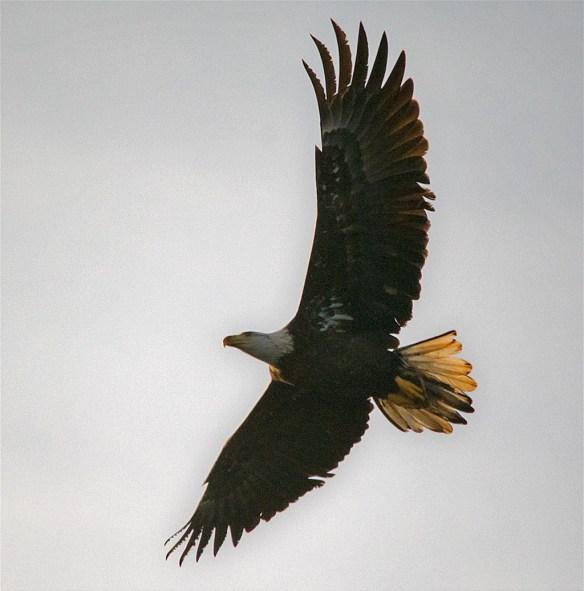Bald Eagle 441