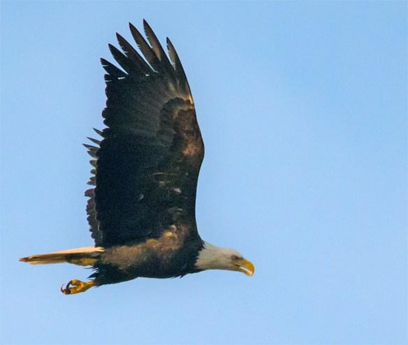 Bald Eagle 442