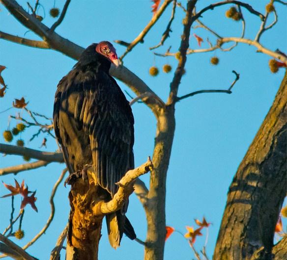 Black Vulture 102