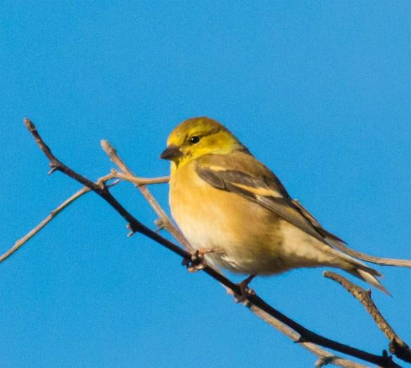 Goldfinch 229