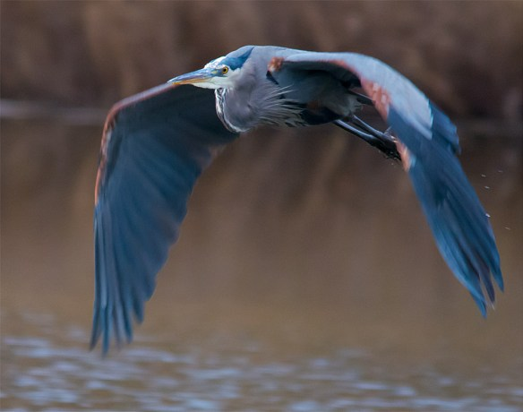 Great Blue Heron 362