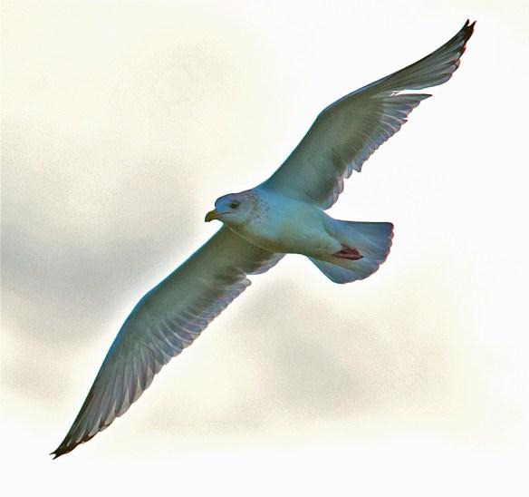 Herring Gull 15