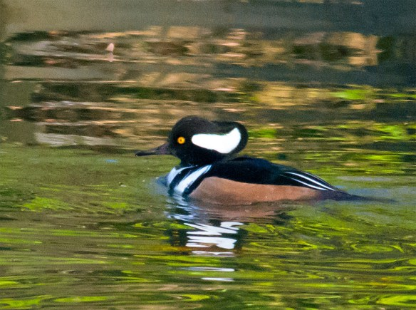 Hooded Merganser 143