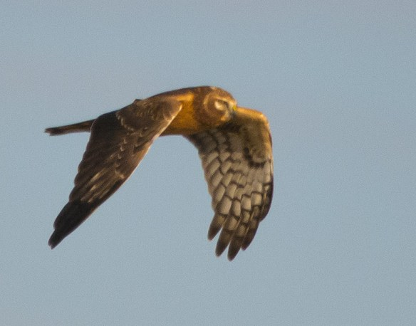 Northern Harrier 201