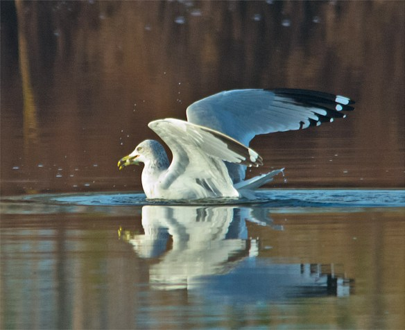 Ring Billed Gull 102