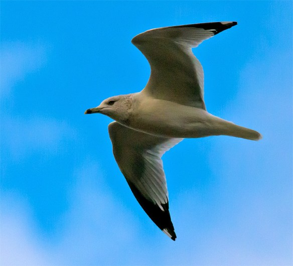 Ring Billed Gull 98