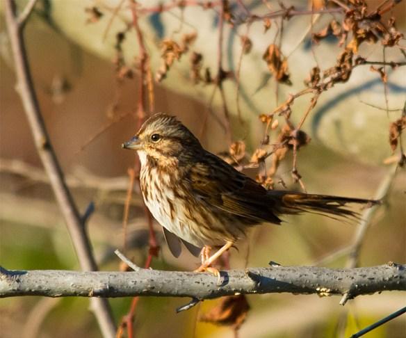Song Sparrow 148